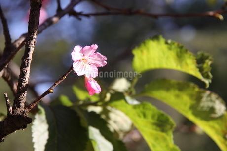 冬のサンパウロに咲く桜の花の写真素材 [FYI03120594]