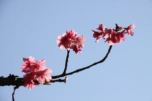 冬のサンパウロに咲く桜の花の写真素材 [FYI03120599]