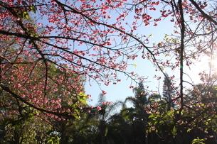 冬のサンパウロに咲く桜の花の写真素材 [FYI03120600]