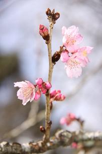 冬のサンパウロに咲く桜の花の写真素材 [FYI03120601]