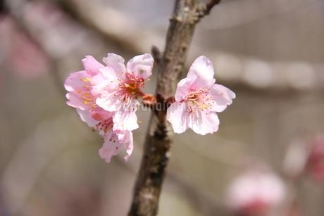 冬のサンパウロに咲く桜の花の写真素材 [FYI03120602]