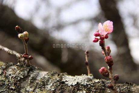 冬のサンパウロに咲く桜の花の写真素材 [FYI03120604]