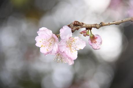 冬のサンパウロに咲く桜の花の写真素材 [FYI03120606]