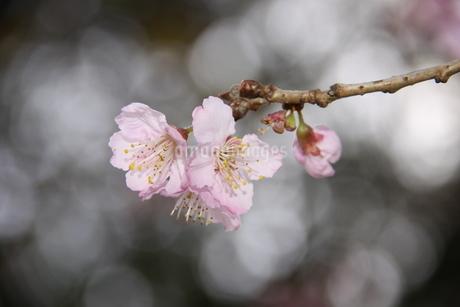 冬のサンパウロに咲く桜の花の写真素材 [FYI03120607]