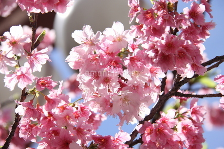 冬のサンパウロに咲く桜の花の写真素材 [FYI03120608]