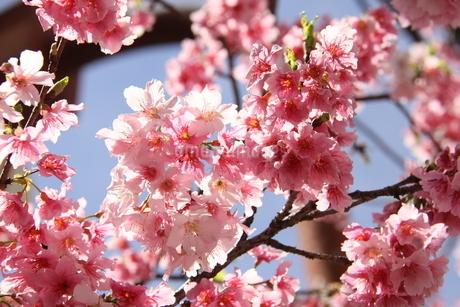 冬のサンパウロに咲く桜の花の写真素材 [FYI03120609]