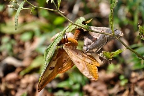 蝶の交尾の写真素材 [FYI03120627]
