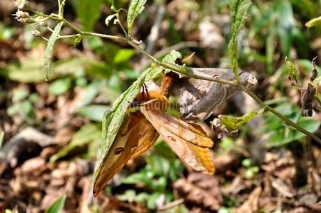 蝶の交尾の写真素材 [FYI03120628]