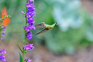 バランスをとって空中停止しながら花に近づき蜜を吸おうとするハチドリの写真素材 [FYI03120675]