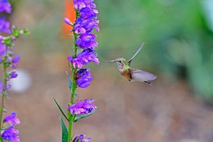 蜜を求めて花に近づくハチドリの写真素材 [FYI03120676]