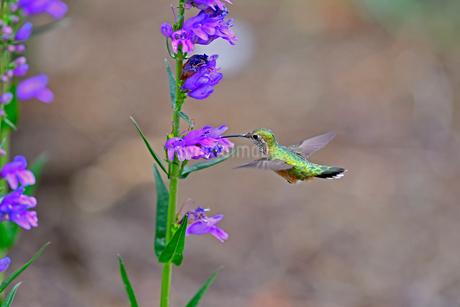 紫の花から蜜を吸うハチドリの写真素材 [FYI03120677]