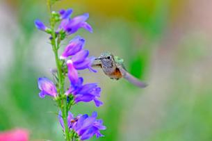 クチバシを花に入れて蜜を吸おうとしているハチドリの写真素材 [FYI03120679]