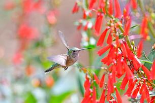 花々の前を飛び蜜を吸おうとするハチドリの写真素材 [FYI03120680]