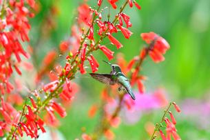 赤い花の前で空中停止し蜜を吸おうとしているハチドリの写真素材 [FYI03120681]