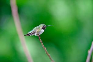 枝にとまりテリトリーを見回るかのように遠くを見つめるハチドリの写真素材 [FYI03120682]