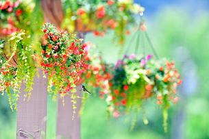 垂れ下がる花を見上げて近づくハチドリの写真素材 [FYI03120683]