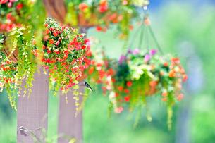吊るされた花に蜜を求めて近寄るハチドリの写真素材 [FYI03120734]