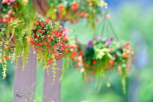吊るされた花に蜜を求めて飛び寄っているハチドリの写真素材 [FYI03120735]