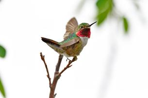 枝から飛び立とうとするハチドリの写真素材 [FYI03120736]