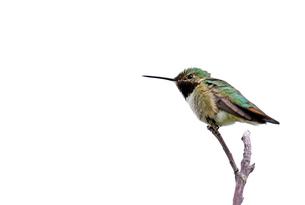 枝にのり遠くを見ているハチドリの写真素材 [FYI03120737]