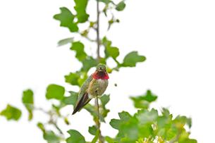木の上にとまり辺りを見渡すハチドリの写真素材 [FYI03120738]