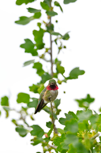 木の上からこちらを覗き込むハチドリの写真素材 [FYI03120739]