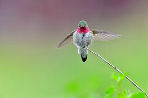 軽く羽ばたくようにして枝の上でバランスをとっているハチドリの写真素材 [FYI03120742]