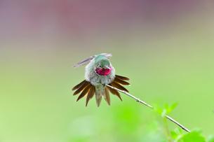 尾羽を一杯に開きストレッチするハチドリの写真素材 [FYI03120743]