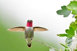光を反射させ顎の部分をピンクに見せているハチドリの写真素材 [FYI03120755]