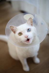 白猫の写真素材 [FYI03120773]