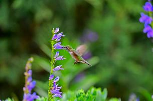 紫の花にくちばしを差し込むように入れて蜜を吸うハチドリの写真素材 [FYI03120774]