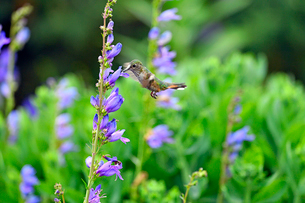 紫の上向きに咲く花から蜜を吸っているハチドリの写真素材 [FYI03120775]