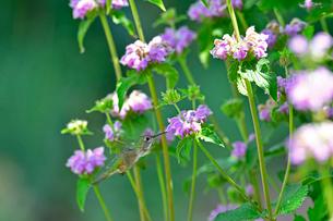 花に溢れる植物の谷間でクチバシを花に入れて蜜を吸おうとしているハチドリの写真素材 [FYI03120776]