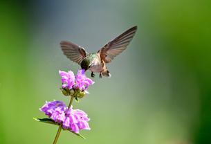 ピンクの花の中にクチバシを深く差し込んで蜜を吸うハチドリの写真素材 [FYI03120777]