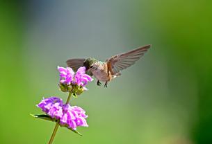 ホバリング、空中停止してピンクの花から蜜を吸うハチドリの写真素材 [FYI03120778]