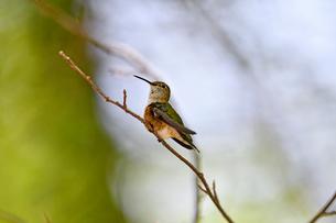 枝にとまって羽の掃除をする合間に周りに気を配るハチドリの写真素材 [FYI03120779]
