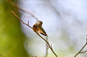 枝の上で首を曲げて羽の掃除をしているハチドリの写真素材 [FYI03120797]