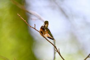 枝にとまって丹念に羽を掃除するハチドリの写真素材 [FYI03120813]