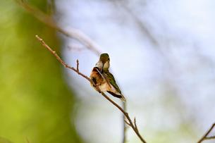木陰の枯れ枝の上で羽繕いをするハチドリの写真素材 [FYI03120814]