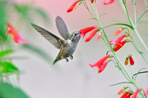 ホバリングしながら赤い花にくちばしを入れて蜜を吸うハチドリの写真素材 [FYI03120815]