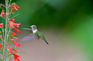 緑のハチドリが赤い花から蜜を吸おうとホバリングしているの写真素材 [FYI03120816]