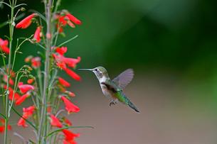 ホバリング、空中停止して赤い花から蜜を吸おうとしているハチドリの写真素材 [FYI03120847]