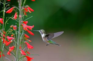赤い花から蜜を吸おうとホバリング、空中停止しているハチドリの写真素材 [FYI03120849]