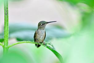 ひまわりの葉の茎にとまるようにして辺りを見ているハチドリの写真素材 [FYI03120851]