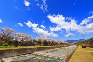 水無川の桜並木の写真素材 [FYI03120857]