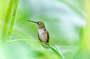 ひまわりの葉にのって小休止しながら辺りに気をくばるハチドリの写真素材 [FYI03120874]