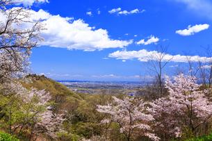 弘法山の桜の写真素材 [FYI03120884]