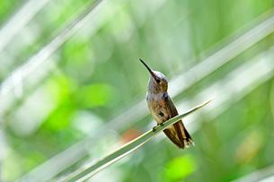 ユッカの葉にとまり上を見上げて何かを見ているハチドリの写真素材 [FYI03120899]