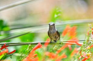 ユッカの葉にとまり周りの花を見ながら小休止するハチドリの写真素材 [FYI03120907]
