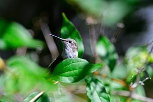 木にとまり周りを見渡しているハチドリの写真素材 [FYI03120910]